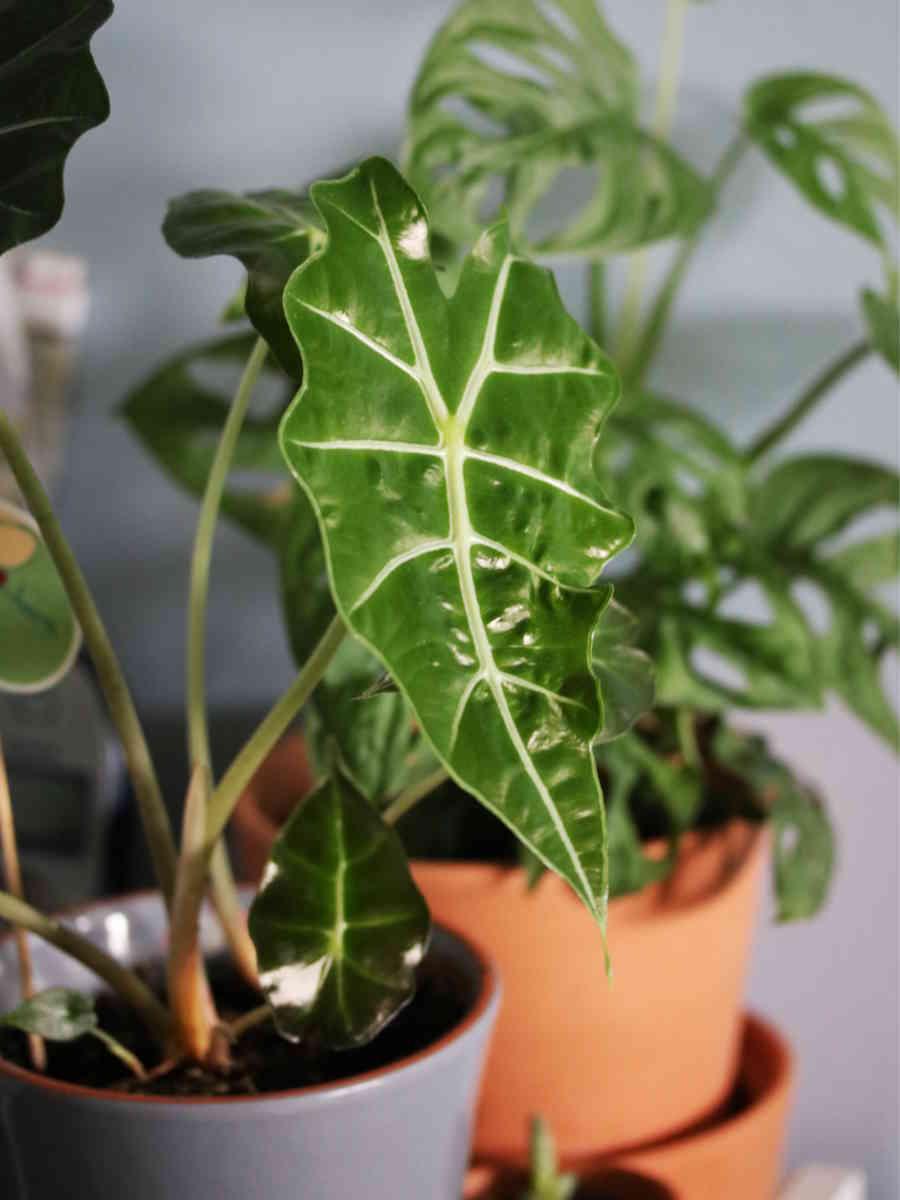 Cultivez des plantes d'intérieure comme l'alocasia ou le monstera obliqua dansu un pot en terre cuite - L'échoppe Végétale #plantesintérieur #jungleurbaine #urbanjungle