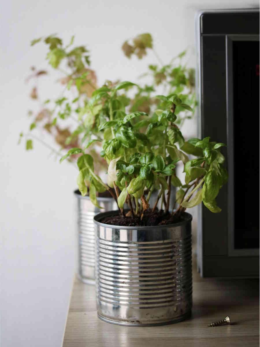 faire pousser des plantes aromatiques dans la cuisine, boite de conserve récup en pot à fleurs, basilic, menthe, persil
