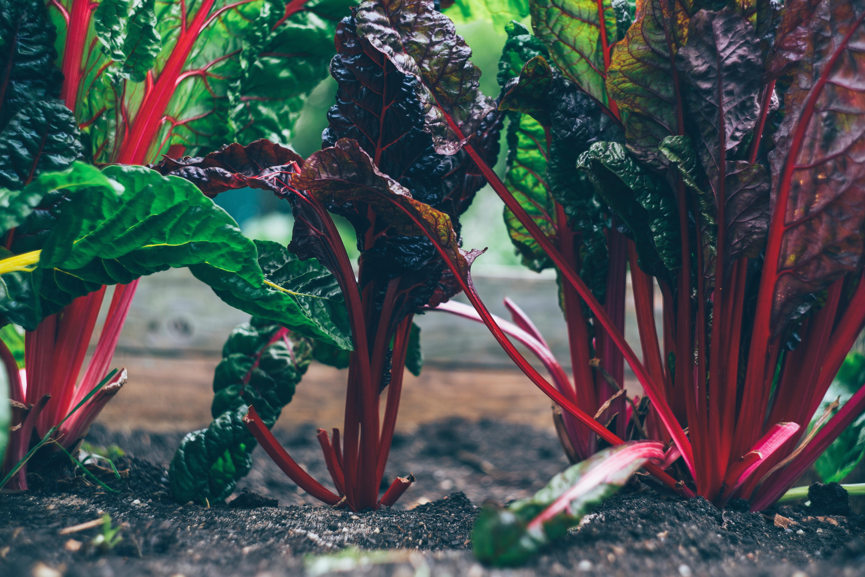 blette à cadre rouge et feuille vertes qui poussent dans la terre