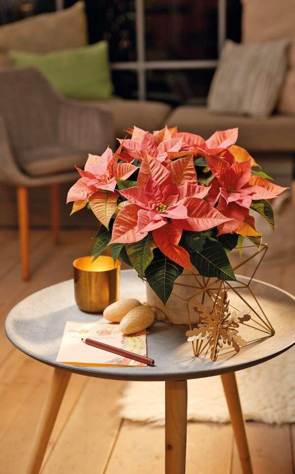 conseils poinsettia rose en pot pour bouquet